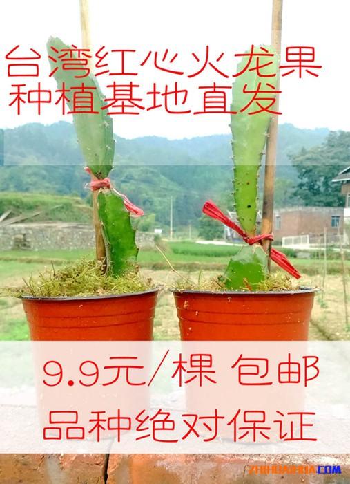 台湾红心火龙果 1年苗湖南种植地直发 火龙果盆栽苗