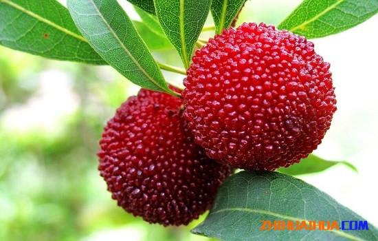 湖南怀化有哪些特产水果 湖南怀化特产
