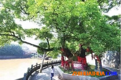 怀化芷江重阳木