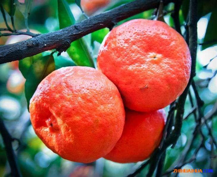 溆浦朱红橘