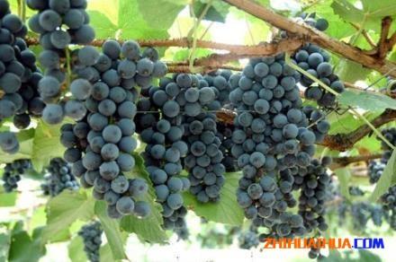 怀化市的中方县是湖南最大的葡萄种植地?