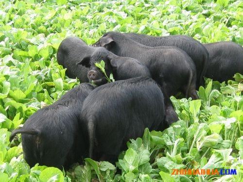 沅陵大合坪黑猪