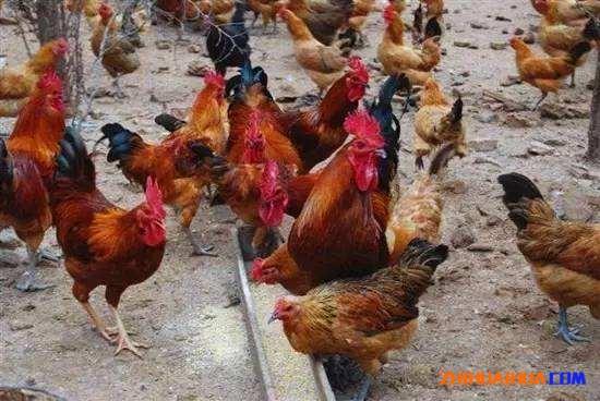 辰溪金毛乌肉鸡