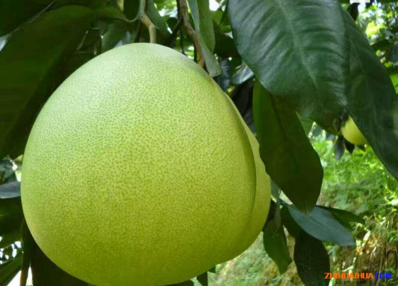安江冰糖柚