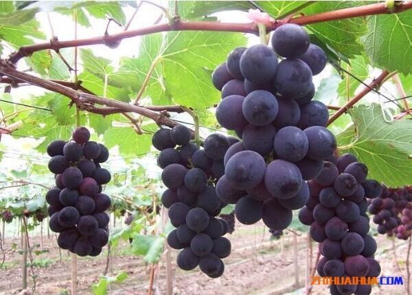 芷江高山葡萄